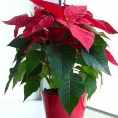 Stella Di Natale Foglie Gialle.Stella Di Natale Foglie Gialle Trendy With Stella Di Natale Foglie